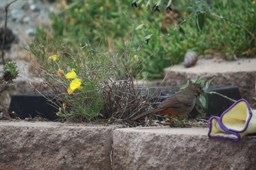Towhee jumping around trying to get to seeds