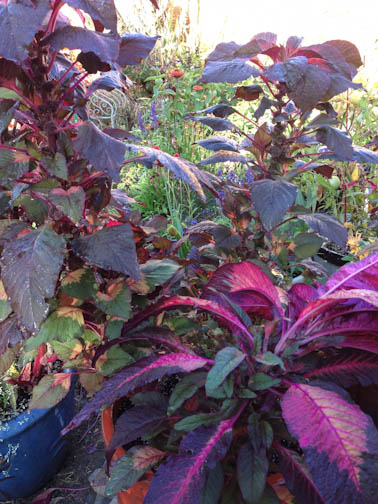Amaranth plants in garden