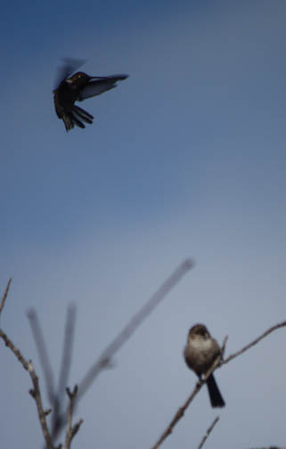 Anna's and Bushtit- I was aiming for Bushtit when Anna got in the pic