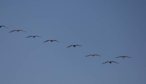 pelicans (1 of 1)