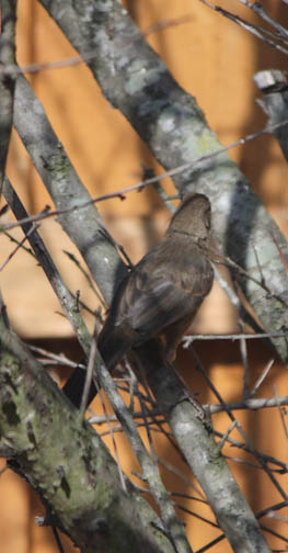 California Towhee kept moving