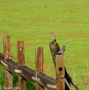 Western Bluebirds on Old Fence