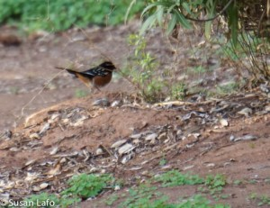 Spotted Towhee - spotted at last minute