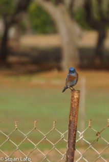 Western Bluebird checking me out