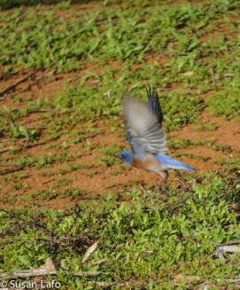 Western Bluebird flew just as I snapped