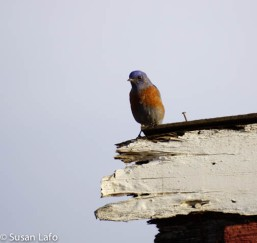 Western Bluebird on shed roof
